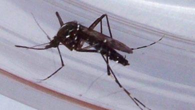 Photo of L'università Kore partecipa ad uno studio internazionale sulla zanzara tigre