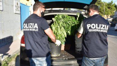 Photo of La Polizia di Stato denuncia due persone per coltivazione di marijuana: sequestrate oltre 30 piante di marijuana alte anche più di un metro