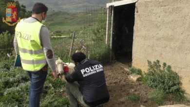 Photo of LA POLIZIA DI STATO DEFERISCE ALL'AUTORITÀ GIUDIZIARIA UN ALLEVATORE PER DETENZIONE DI ANIMALI NON CENSITI PRONTI PER ESSERE MACELLATI